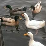 Duck Squad